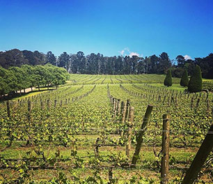 Red Hill vineyard