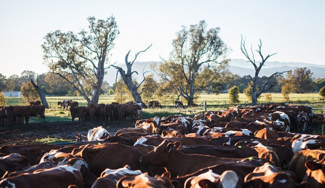 Lancemore Milawa King Valley Farm at Milawa Cheese